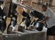 Pekerja memerah susu dari sapi di sebuah peternakan di kawasan Mampang, Jakarta Selatan, Ahad (22/4). (Republika/Aditya Pradana Putra)
