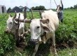 Petani membajak menggunakan sapi di lahan singkong di Desa Doko, Kediri, Kamis (19/2).