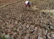 Petani sedang mengumpulkan padi yang mengalami kekeringan di Kampung Setu, Bekasi Barat, Kamis (30/7).  (Republika/Tahta Aidilla)(Republika/Tahta Aidilla)