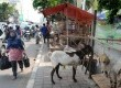 Sejumlah hewan kurban dijajakan di Trotoar Jalan KH Mas Mansyur, Tanah Abang, Jakarta Pusat, Ahad (20/9).   (Republika/Yasin Habibi)