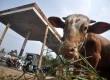 Sejumlah sapi kurban dijajakan di sebuah SPBU di kawasan Lebak Bulus, Jakarta Selatan, Kamis (3/10). (Republika/Rakhmawaty la'lang)
