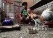 Warga memeriksa kandang ayam dan burung dara usai dibongkar di kawasan Cempaka Baru, Jakarta Pusat, Senin (28/3).  (Republika/Yasin Habibi)