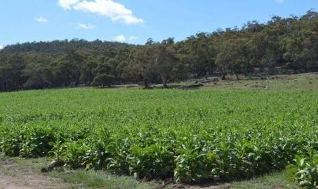 Ladang Tembakau Ilegal Senilai  Rp111 Miliar Ditemukan di NSW