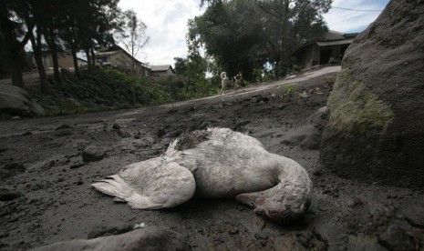 A duck lies dead in the foothill of Mt Sinabung, last month. The village is now deserted because its residents seek refugee to saver places due to the mount's eruption.