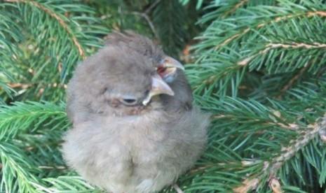 Anak Burung berkepala dua