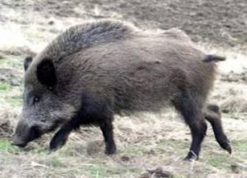 Babi hutan
