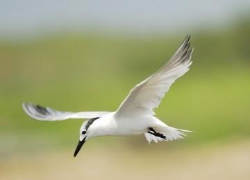 Wabah Burung Kecil Berbau Busuk Landa Gorontalo