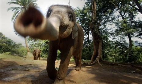 Gajah (Ilustrasi)