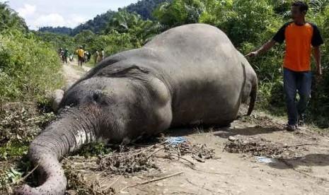 Belasan Gajah Mati Diracun, Tersangkanya Belum Ketemu
