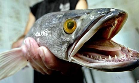 Piranha Kalah Seram Dengan Ikan Indonesia Ini [ www.BlogApaAja.com ]