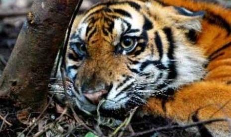 Harimau Sumatera (panthera tigris sumatrae).