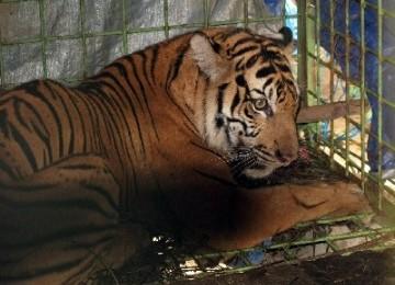 Korban Perburuan Liar, 'Dara' Dipindah ke Taman Safari