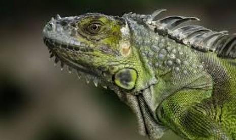 Iguana Raksasa di Pulau Fiji Ancam Kelangsungan Pangan