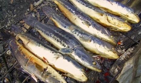 Ikan gabus pasir (ilustrasi)
