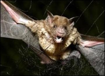 Kelelawar vampire