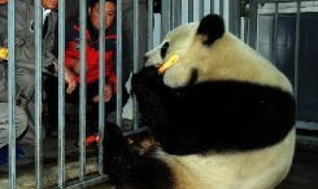 Panda Jantan Tertua di Dunia Mati