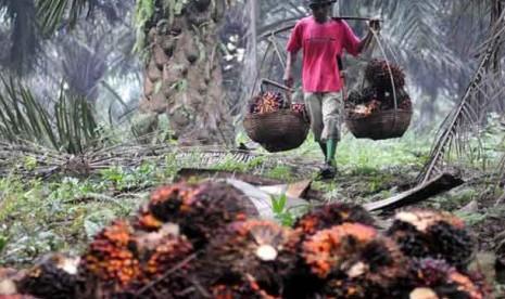 Pekerja memanen tandan buah segar kelapa sawit.  (ilustrasi)