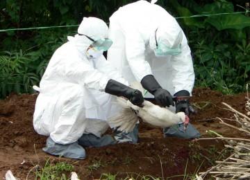 Petugas memusnahkan unggas yang terjangkit flu burung