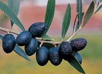 Pohon buah tin.