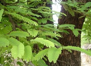 Pohon asam jawa. Ilustrasi