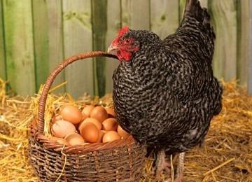 Ratusan ribu orang Inggris kini gemar memelihara ayam.
