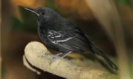 Rio Branco, salah satu spesies burung di Hutan Amazon y