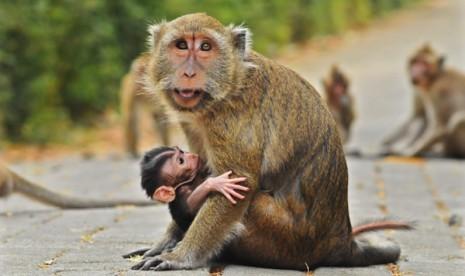 Sekumpulan monyet (Ilustrasi)