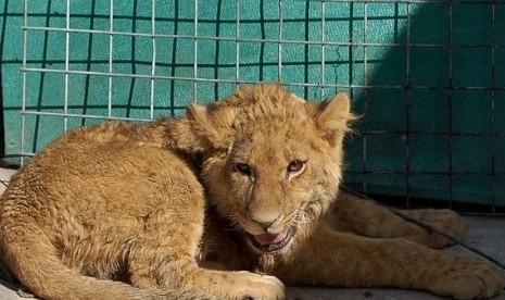 Singa (ilustrasi)