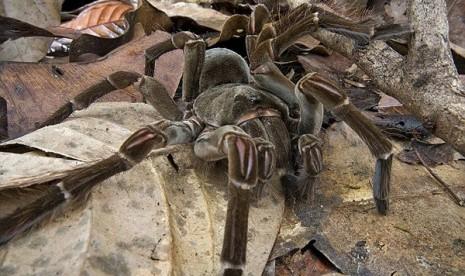 Hii, Inilah Laba-laba Terbesar di Dunia