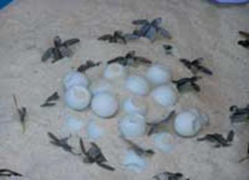Telur Penyu dan Tukik