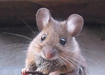 Tikus (ilustrasi)