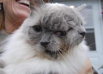 Inilah Kucing Berwajah Dua Tertua di Dunia