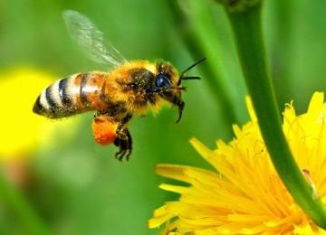 Keajaiban Lebah Madu