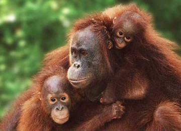 Ternyata, 97 Persen DNA Orangutan Sama dengan Manusia