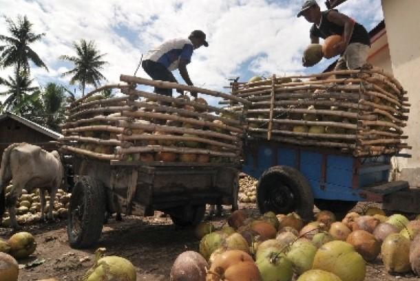 . Dua pekerja menurunkan buah kelapa dalam yang baru tiba dari kebun warga ke atas truk di Desa Pewunu, Kec. Dolo Barat, Kab. Sigi, Sulawesi Tengah