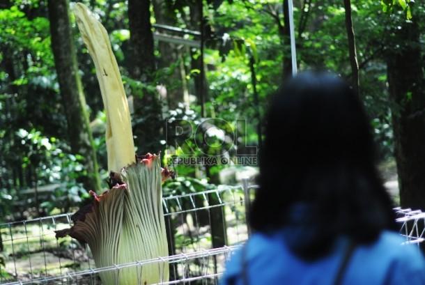 Pengunjung memperhatikan bunga bangkai raksasa (Amorphophallus titanium) yang mekar di Taman Hutan Raya Ir. H. Djuanda, Kota Bandung, Senin (16/2).   (foto : Septianjar Muharam)
