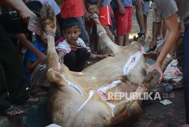 Anak sedang melihat hewan kurban yang akan dikuliti sebelum dagingnya dipotong.