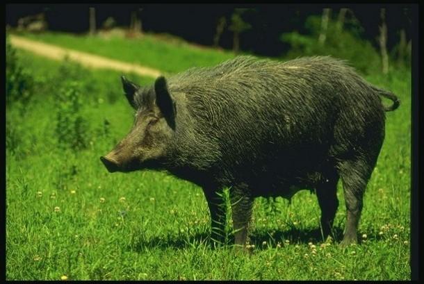 Babi Hutan Masuk Perkampungan dan Menyerang Warga