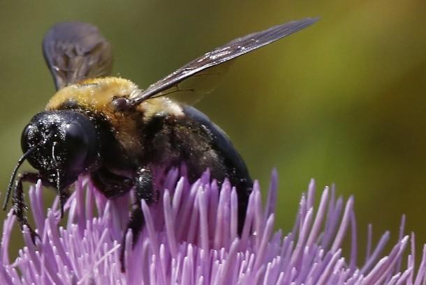 Hewan lebah.