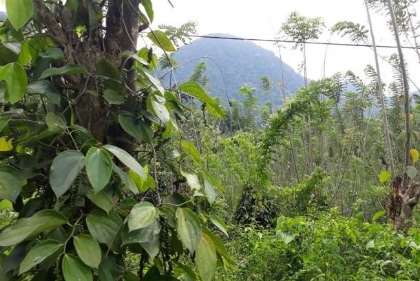 Mengelola Hasil Hutan Adat Baringin