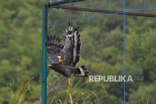 Konservasi Elang : Pusat Konservasi Elang Kamojang (PKEK) melepasliarkan sepasang Elang Ular Bido (Spilornis Cheela) di kawasan Hutan Kamojang, Kabupaten Garut, Jawa Barat, Kamis (19/10).
