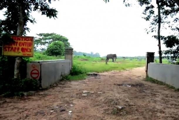 Konservasi gajah liar di Taman Nasional, Way Kambas, Lampung Timur.