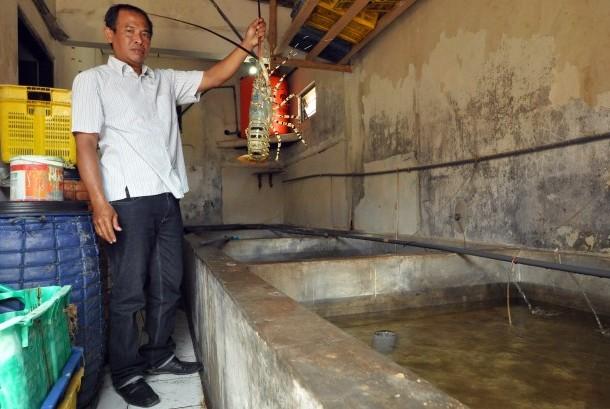Lilik Harijanto memperlihatkan komoditas lobster hasil budi dayanya.