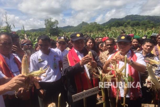 Menteri Pertanian Amran Sulaiman menghadiri panen raya jagung di desa kenebibi, Kabupaten Belu, NTT.