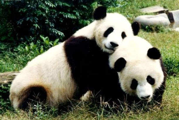 Panda raksasa Cina (ilustrasi)