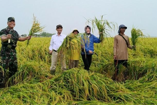 Panen padi di Karawang, Jawa Barat, Ahad (17/12).