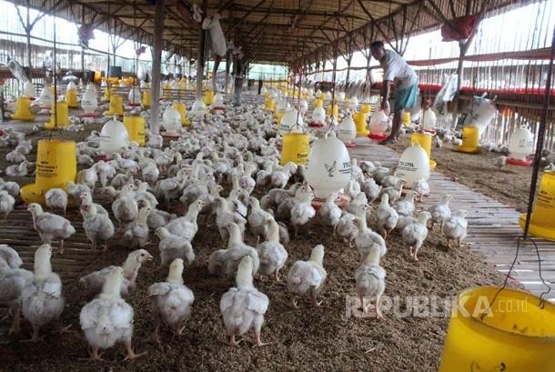 Pekerja memberikan pakan ternak di salah satu industri ternak ayam potong di kawasan Lambanjaya, Cikarang, Kabupaten Bekasi, Jawa Barat, Kamis (23/2). Menurut pengelola industri unggas setempat dalam sebulan mereka memasok permintaan 45 ribu ekor ayam poto