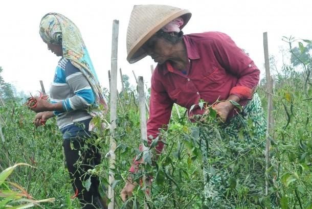 Petani memetik cabai yang selamat dari serangan hama patek. (ilustrasi)
