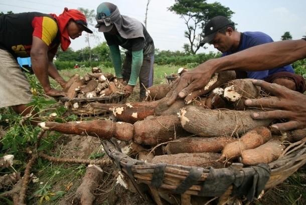 Petani melakukan panen tanaman singkong