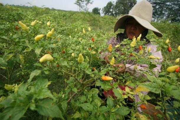 Petani memanen cabai rawit di area persawahan Desa Pamenang, Kediri, Jawa Timur, Senin (9/1).